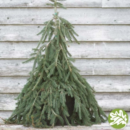 PICEA  Frohburg 6 gal.
