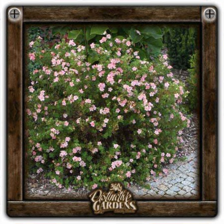 POTENTILLA Pink Beauty 2 gal.
