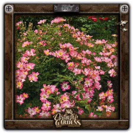 ROSA Drift Pink 2 gal.