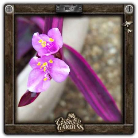 SETCREASEA Purple Variegata 4