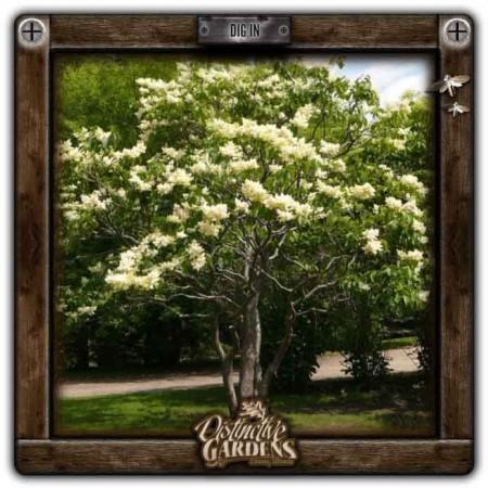 SYRINGA TREE Ivory Silk 6 gal.