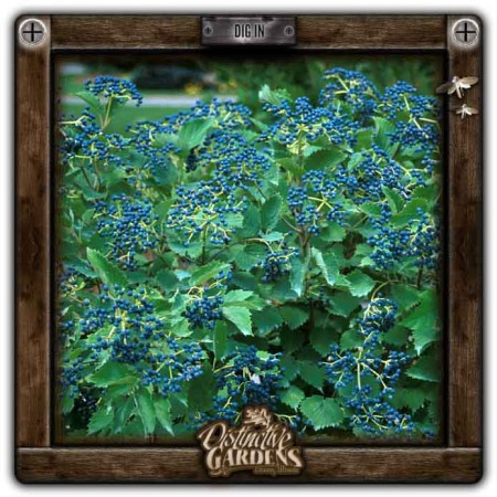 VIBURNUM SHRUB Blue Muffin 3 gal.