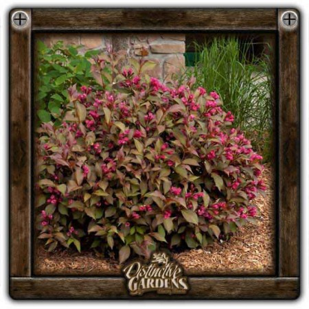 WEIGELA Shining Sensation 2 gal.